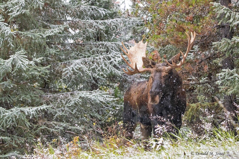 Moose06791D.jpg