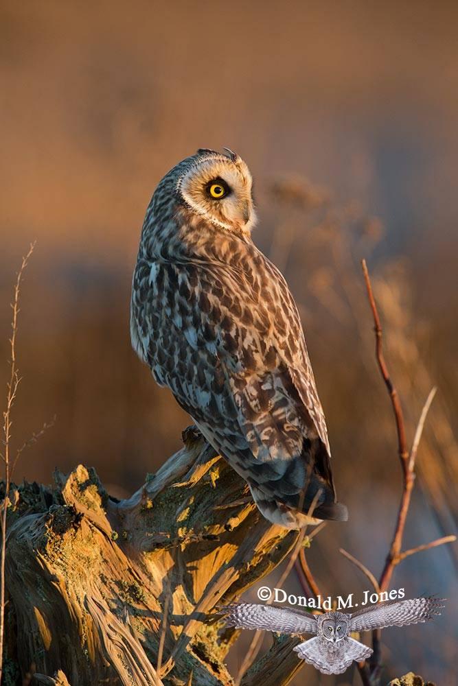 Short-eared-Owl0476D