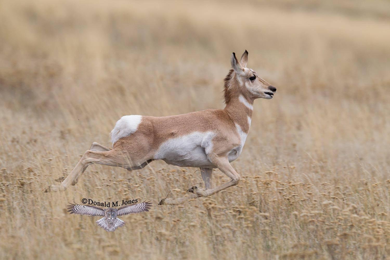 Pronghorn-Antelope05218D