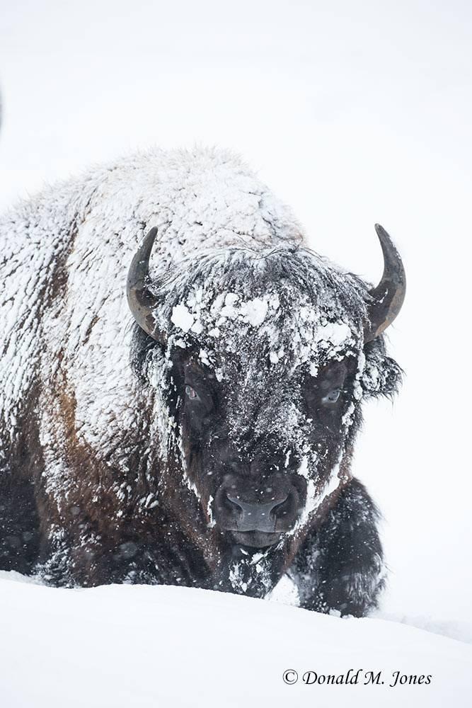 American-Bison02437D