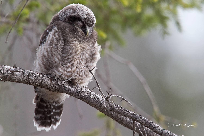 Northern-Hawk-Owl0131D