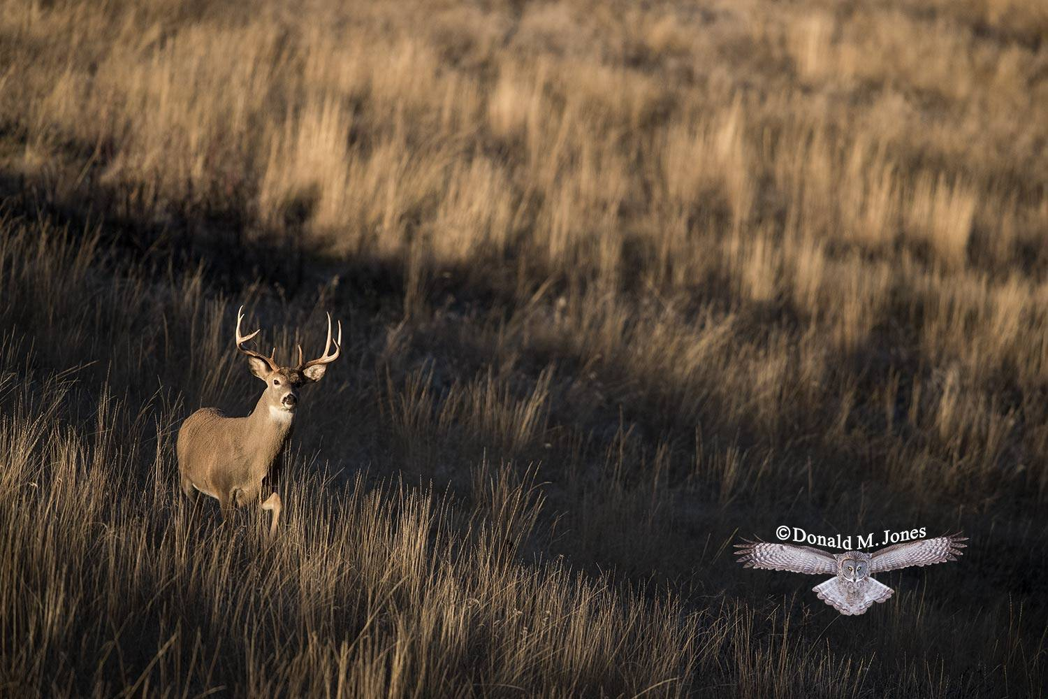 Whitetail-Deer53763D