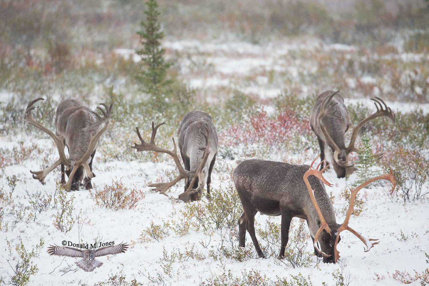 Barren-Ground-Caribou03399D