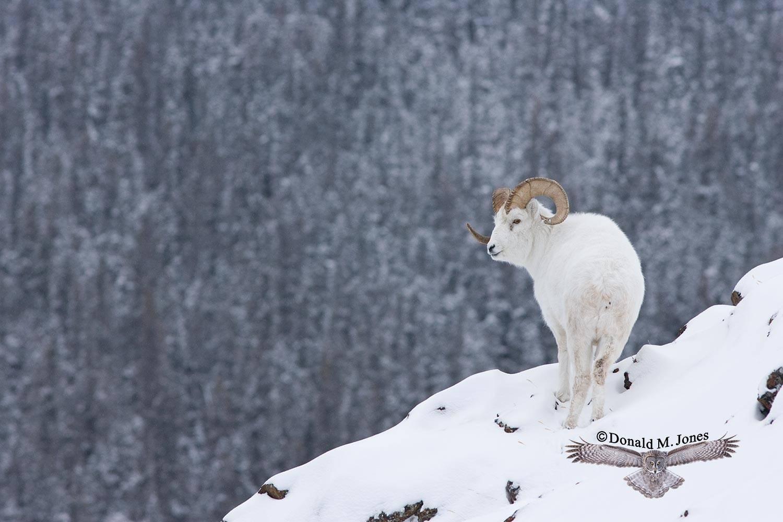 Dall-Sheep00862D