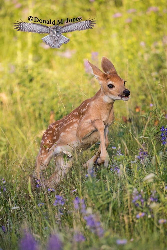 Whitetail-Deer55305D