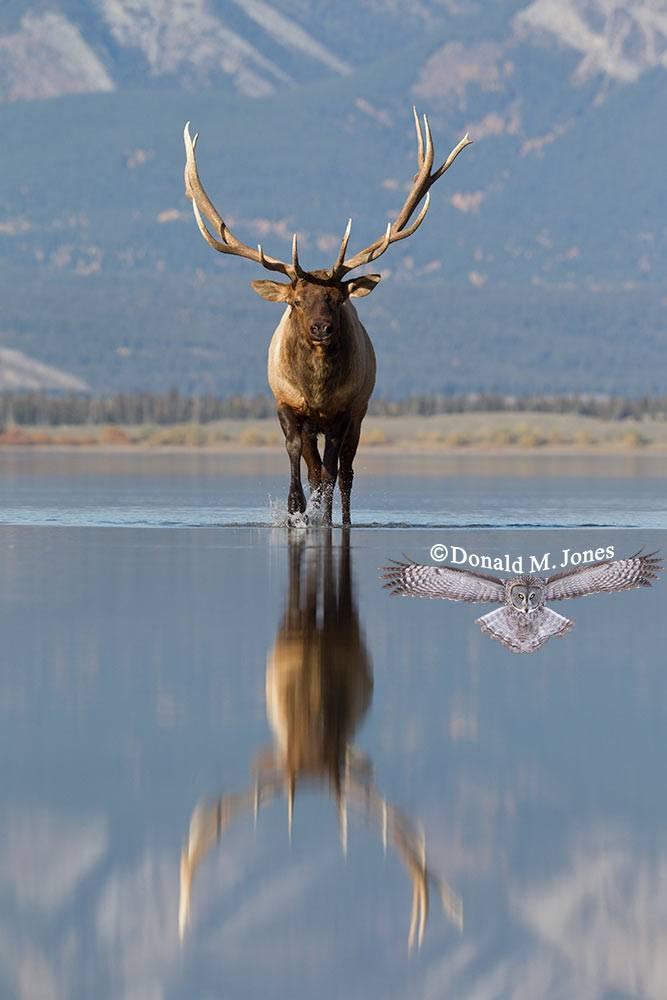 Elk-(Rocky-Mtn)22456D