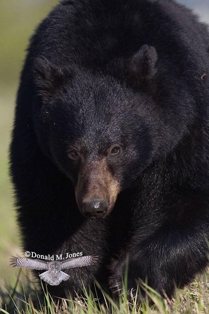 Black-Bear05348D