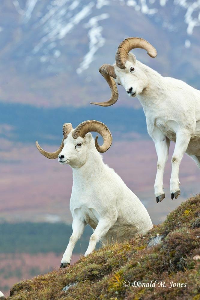 Dall-Sheep01909D