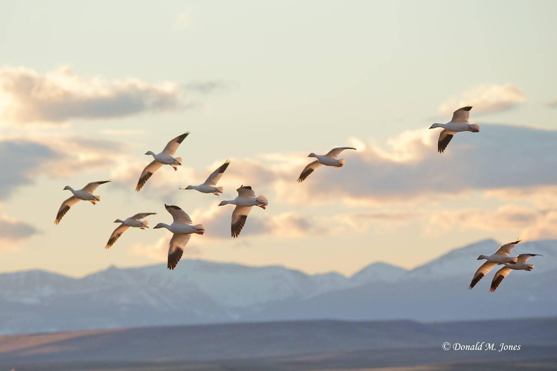 Snow-Goose2461D