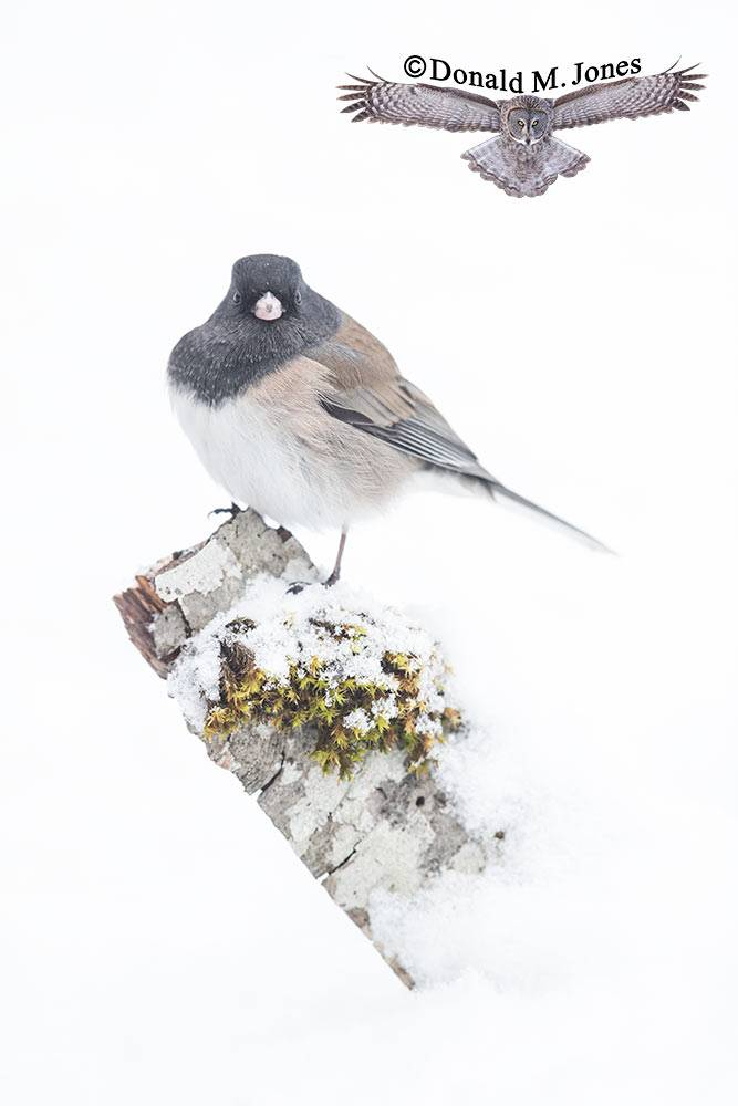 Dark-eyed-Junco0572D