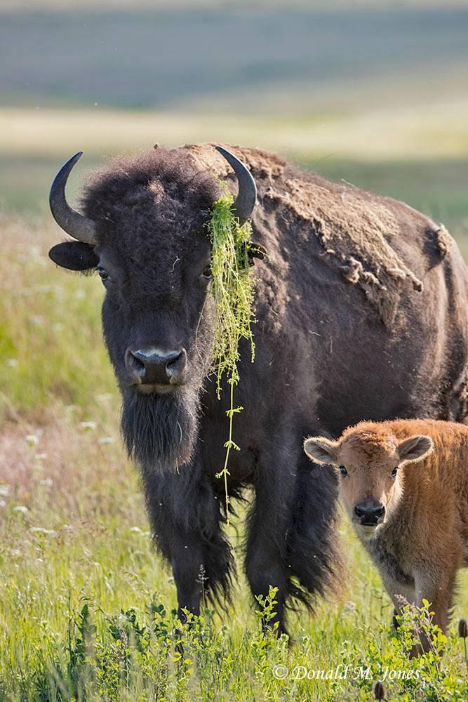 American-Bison01982D