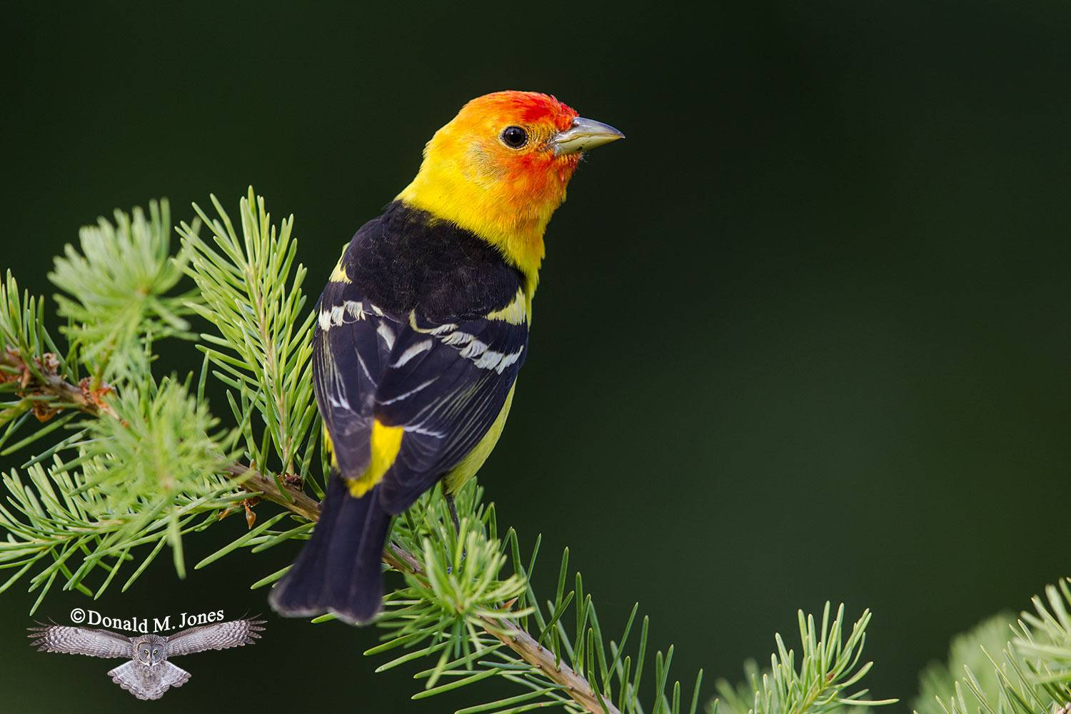 Western-Tanager0777D