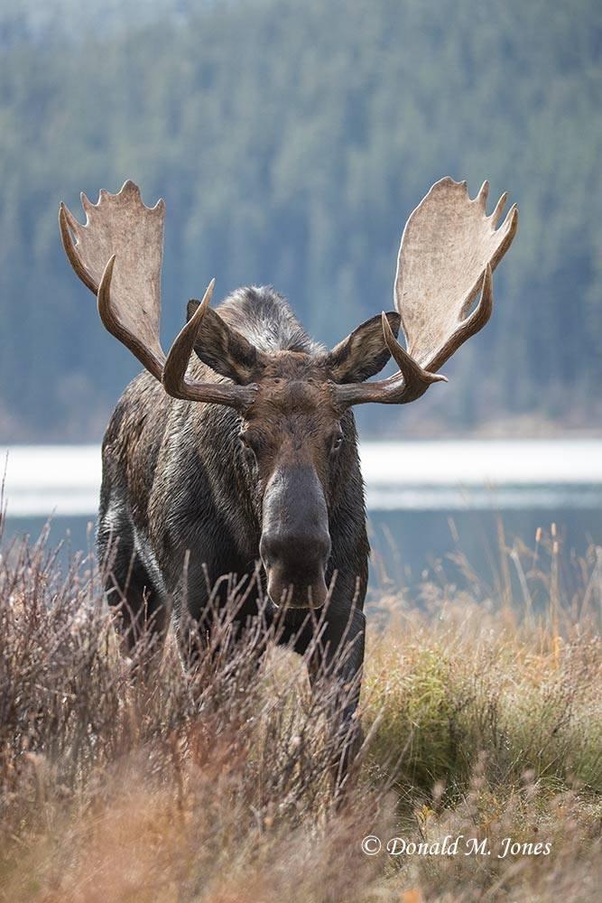 Moose05740D