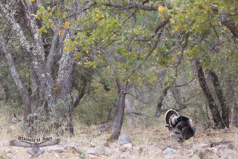 Wild-Turkey-(Goulds)00290D