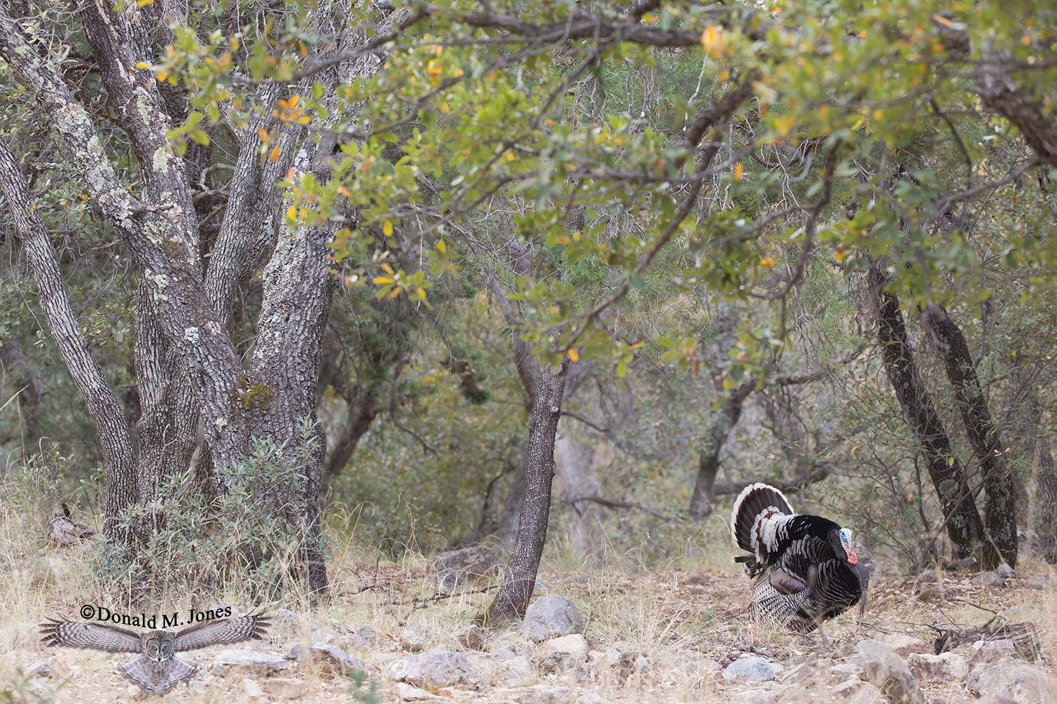 Wild-Turkey-(Goulds)00290D
