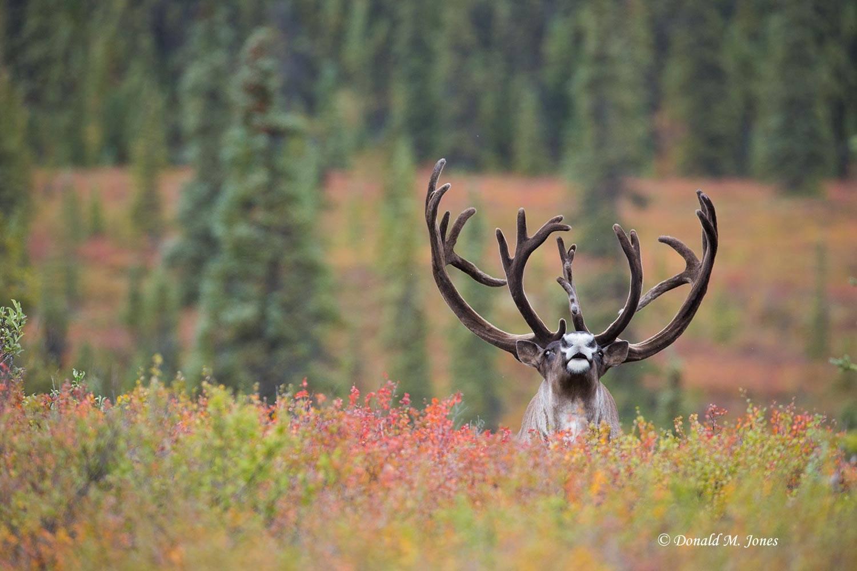Barren-Ground-Caribou03371D