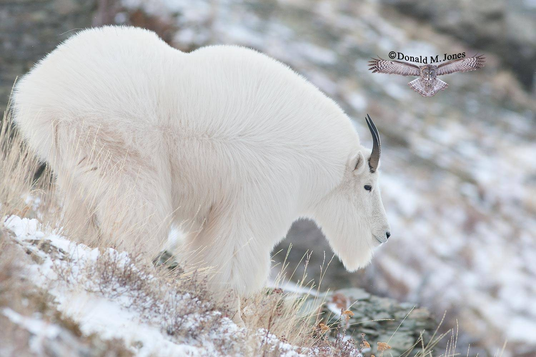 Mountain-Goat02264D