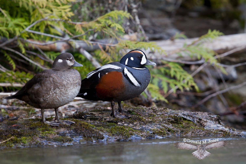 Harlequin-Duck0524D