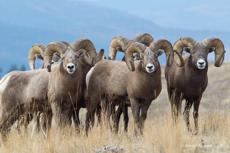 Bighorn-Sheep04489D