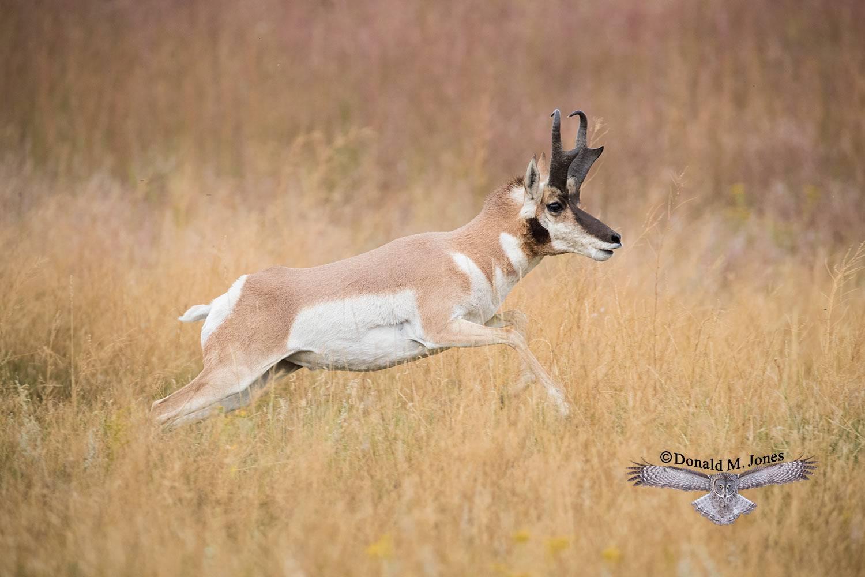 Pronghorn-Antelope05393D