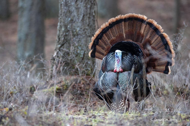 Wild-Turkey-(Eastern)0422D