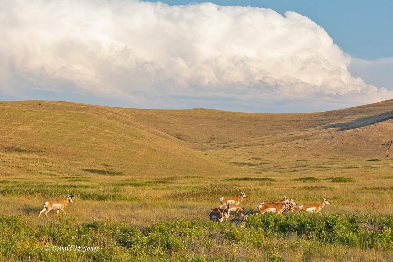 Pronghorn-Antelope05638D