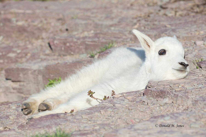 Mountain-Goat02569D