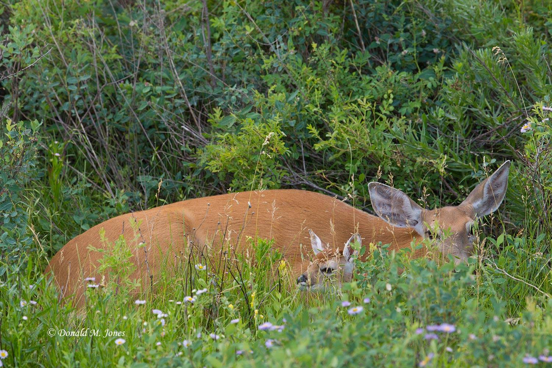 Whitetail-Deer50135D