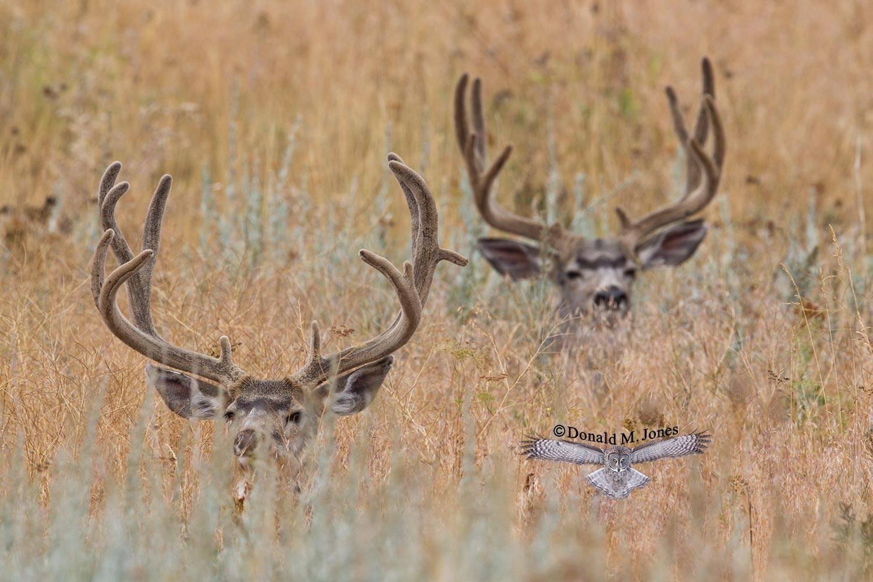 Mule-Deer09035D