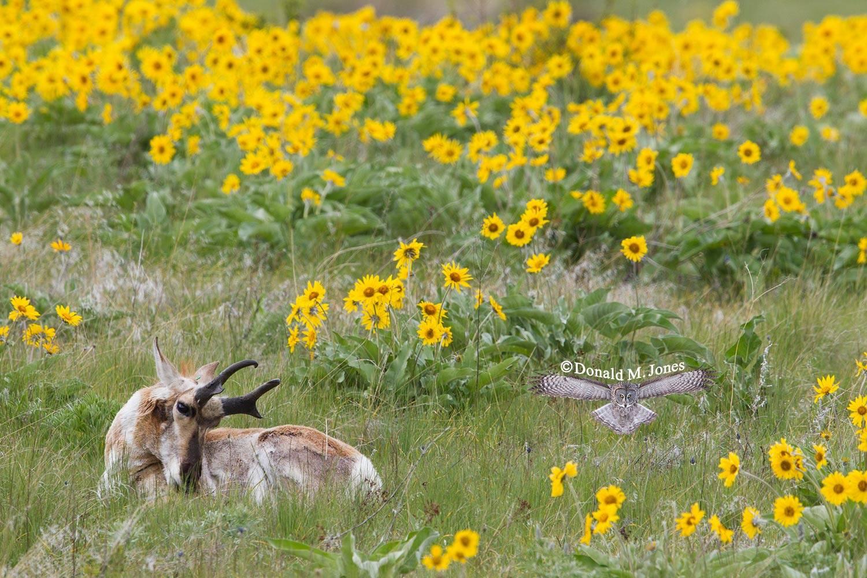 Pronghorn-Antelope04250D