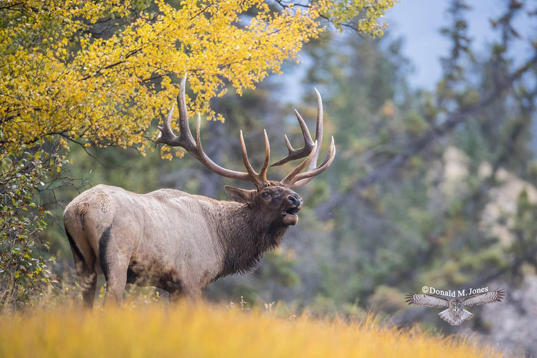 Elk-(Rocky-Mtn)24391D