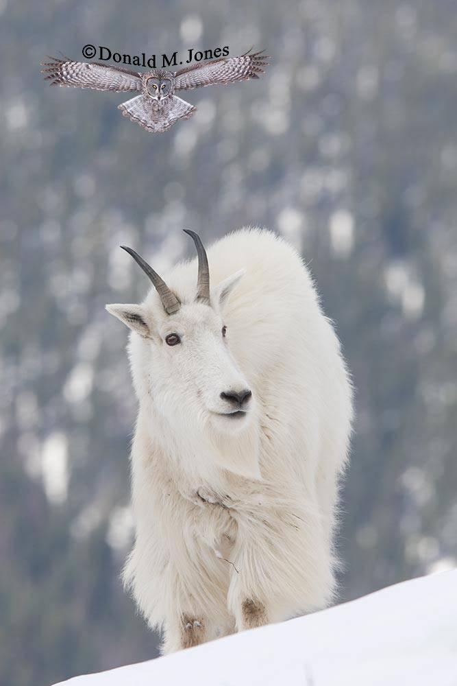 Mountain-Goat01839D