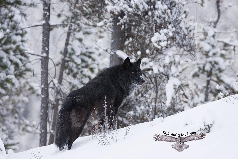 Wolf0479D