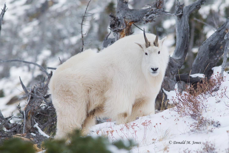 Mountain-Goat02309D