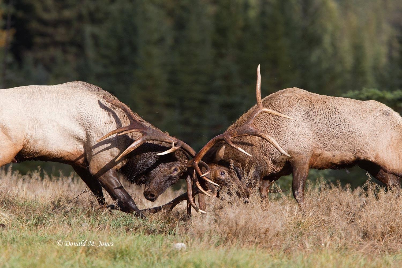 Elk-(Rocky-Mtn)16088D