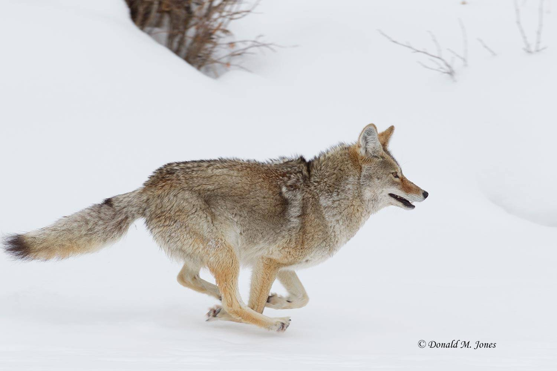 Coyote02089D