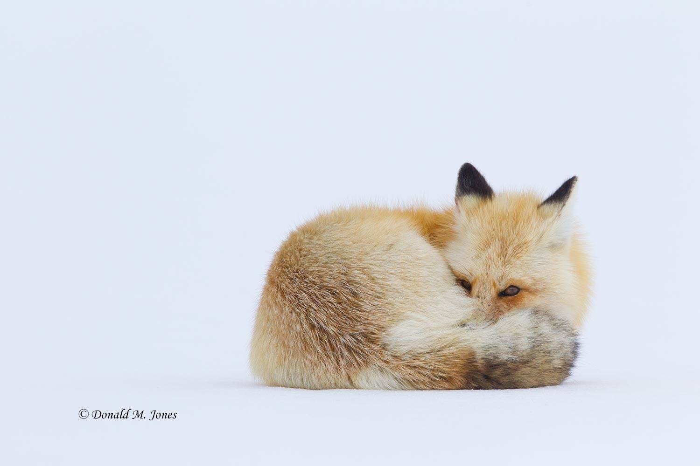 Red-Fox1102D