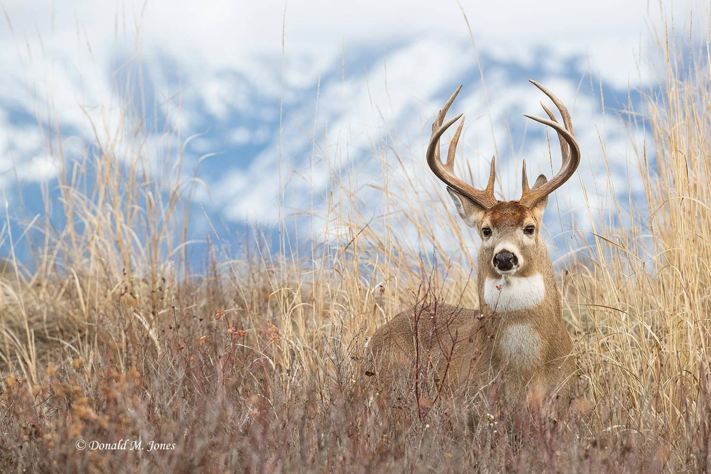 Whitetail-Deer56213D.jpg