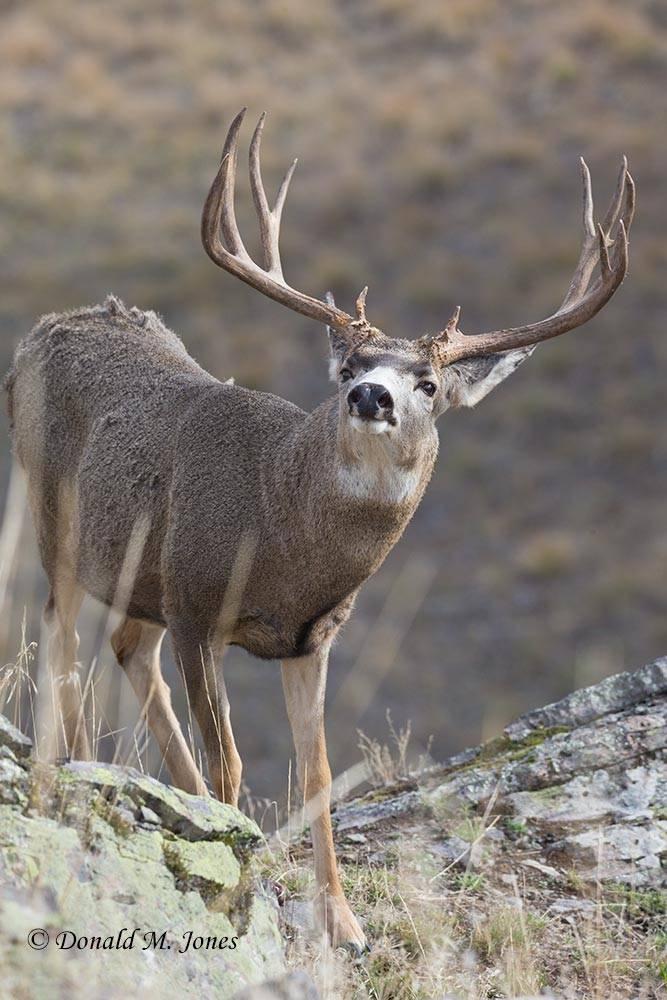 Mule-Deer09440D