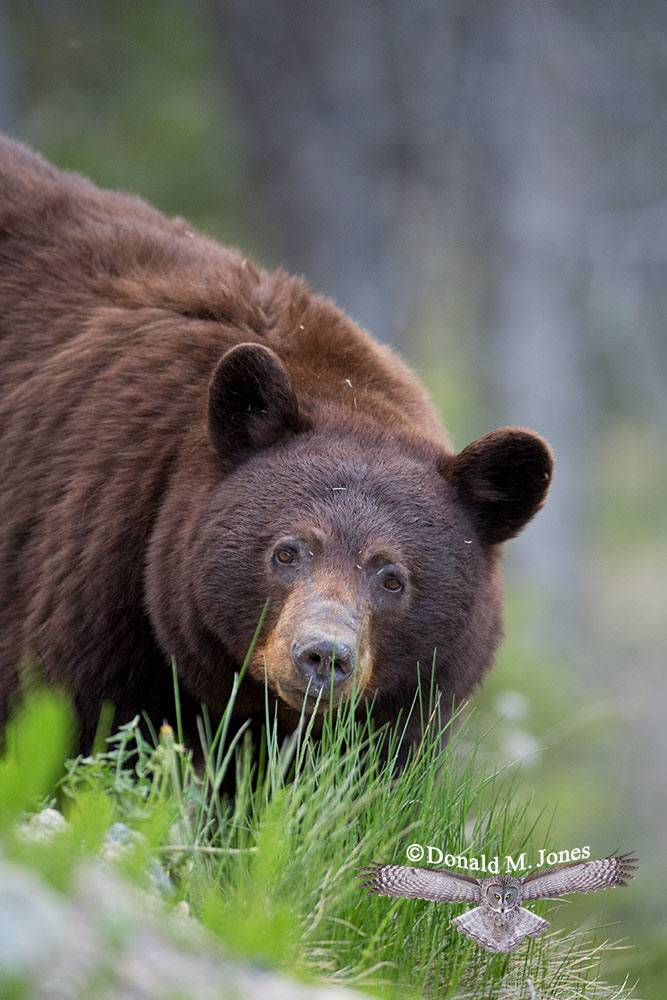 Black-Bear07313D
