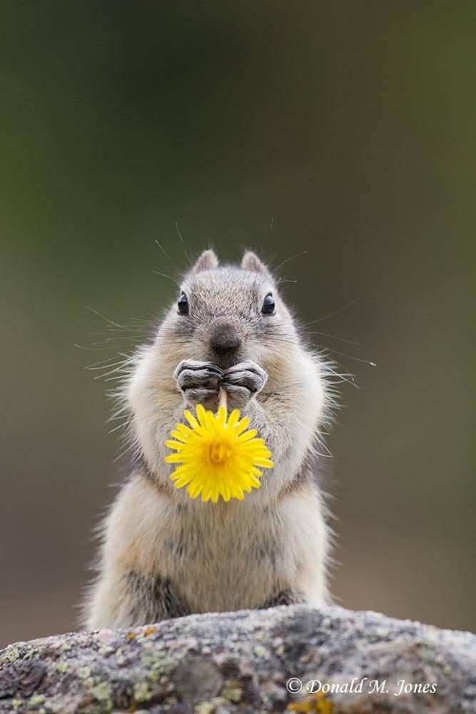 Golden-mantled-Groundsquirrel0216D