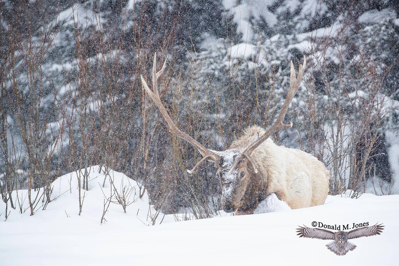 Elk-(Rocky-Mtn)26435D