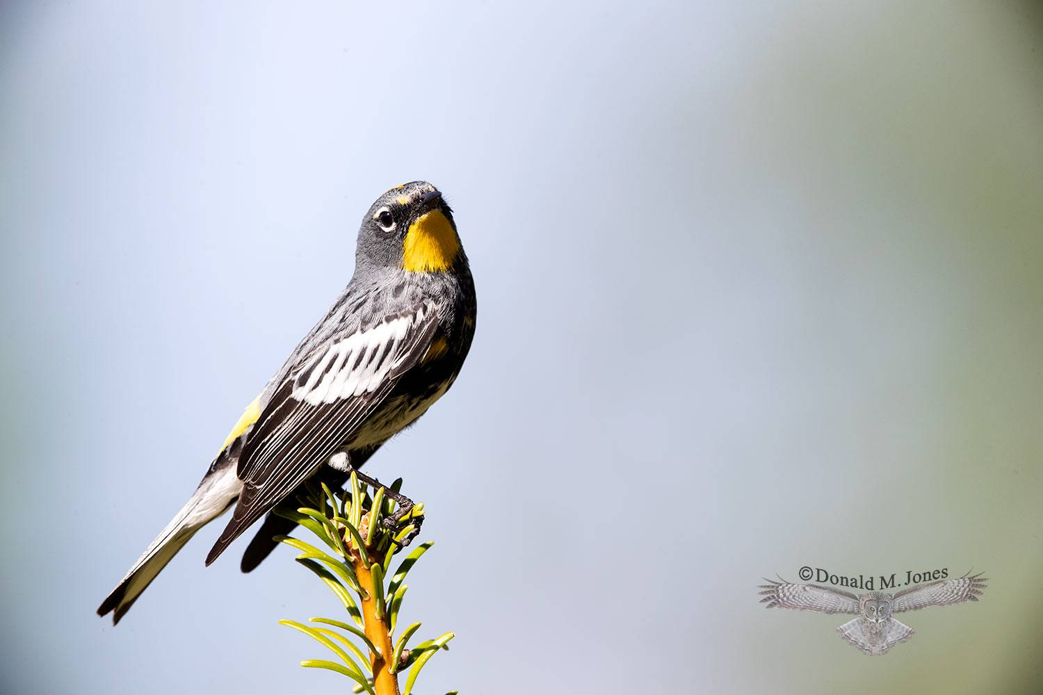 May 13 Yellow-rumped Warbler male