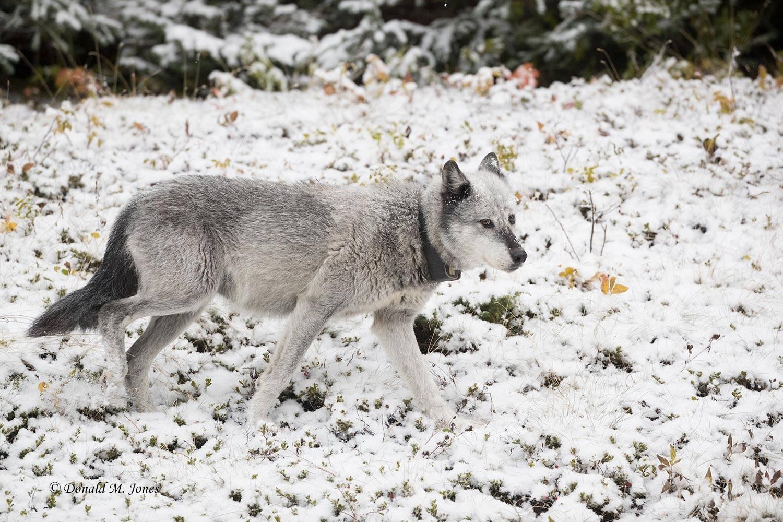 Wolf0632D