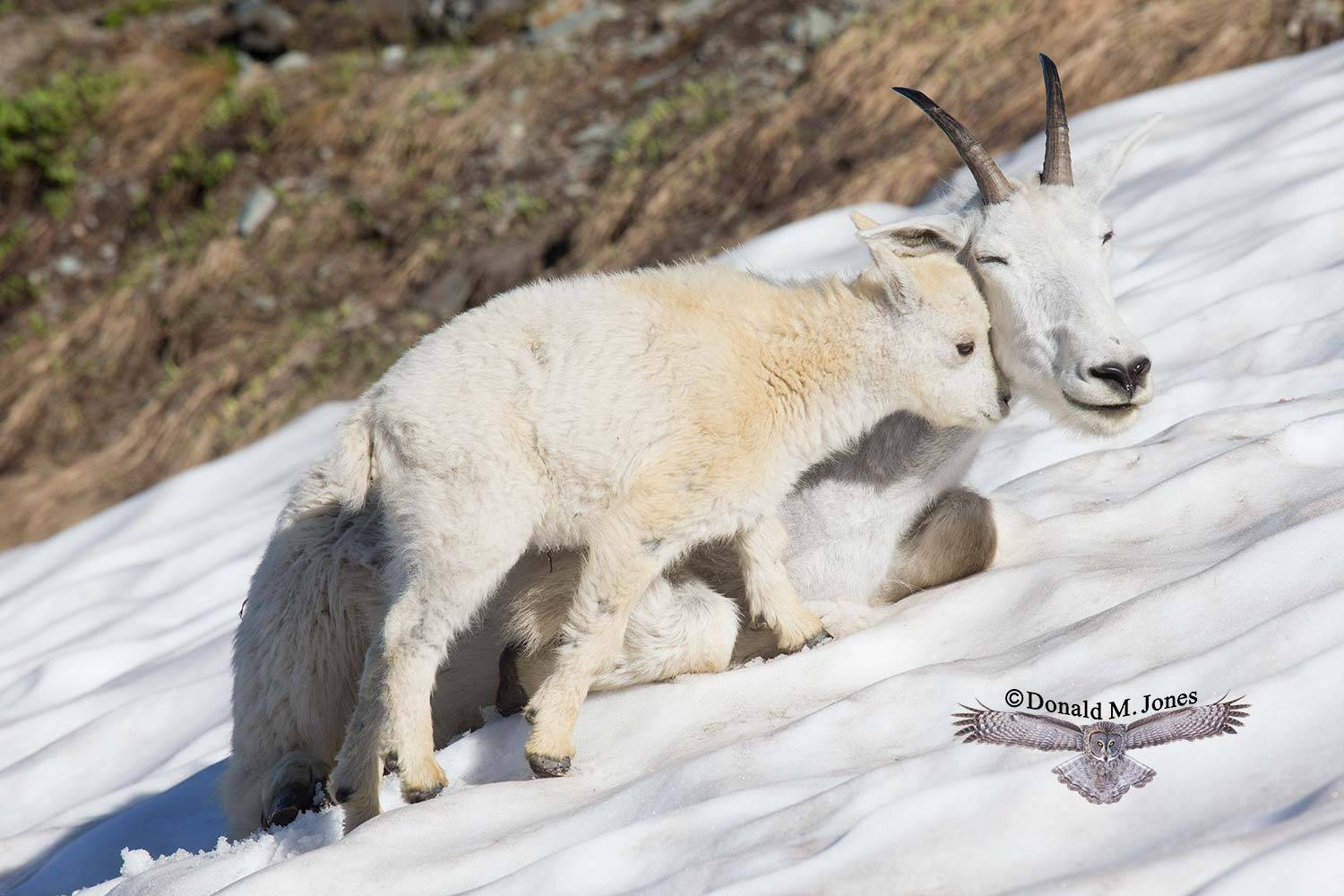 Mountain-Goat02454D