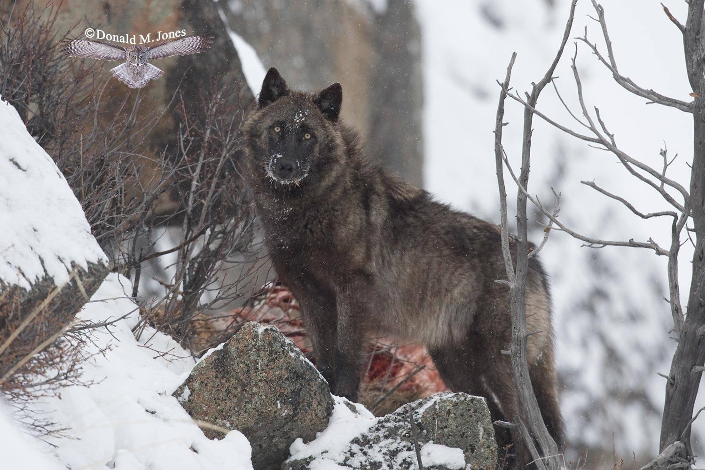 Wolf0563D