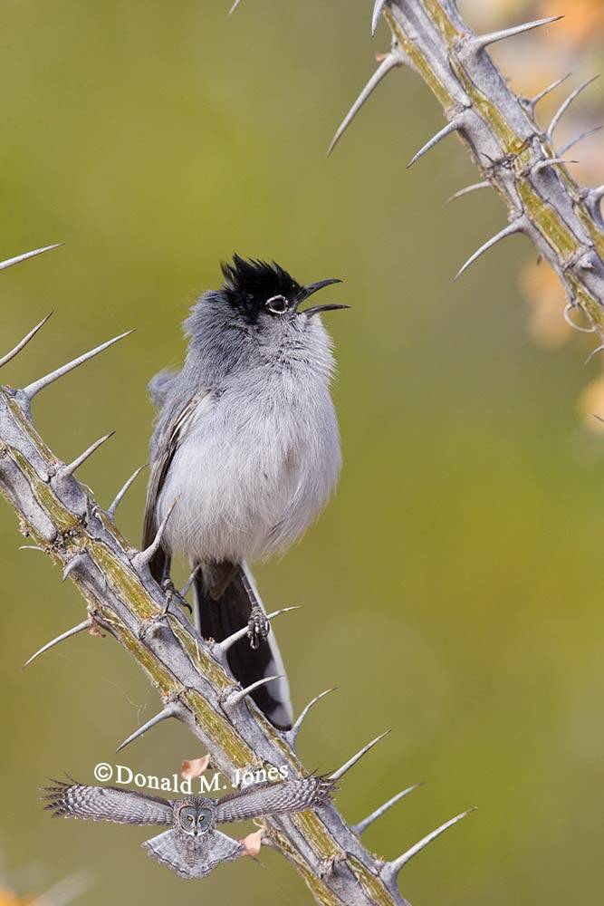 Black-tailed-Gnatcatcher0157D