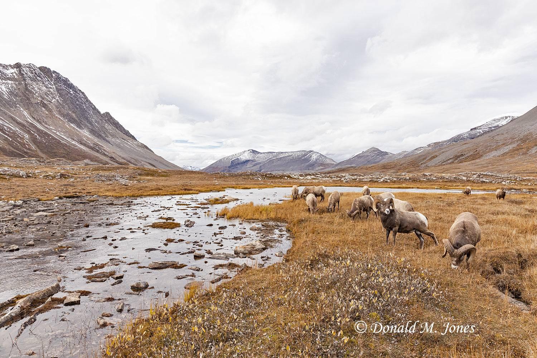 Bighorn-Sheep06632D
