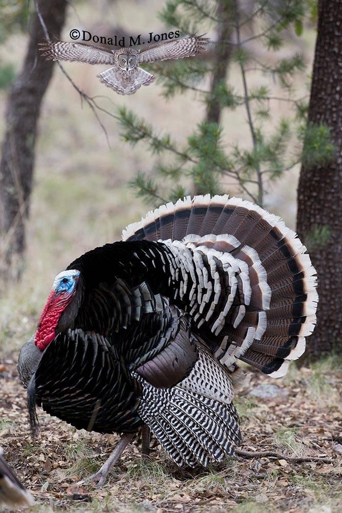 Wild-Turkey-(Goulds)00310D