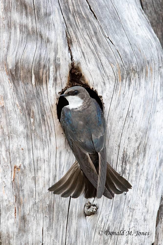 Tree-Swallow0086D